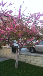 Japanese Blooming Peach tree